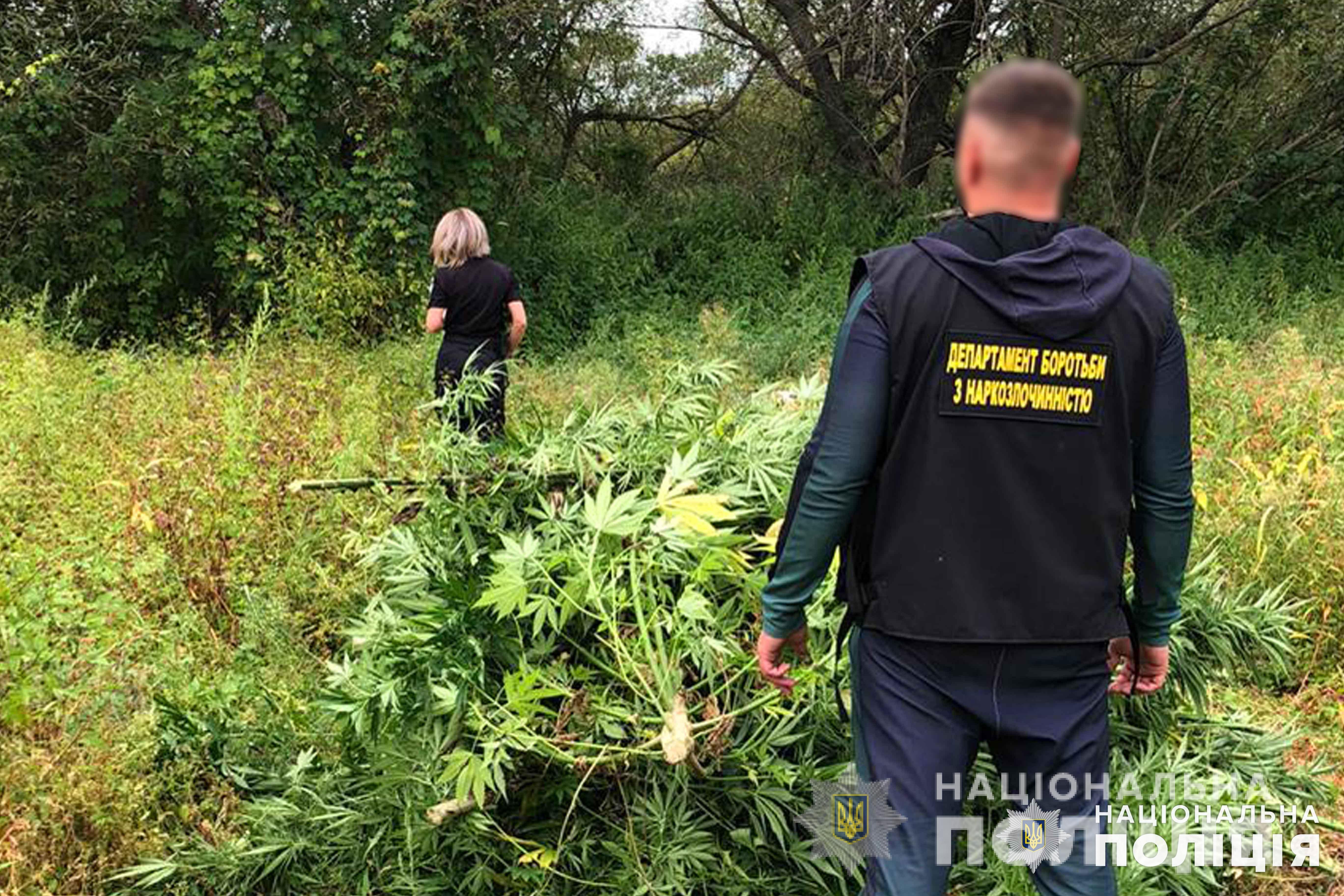 плантації конопель на Київщині