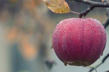 Урожай яблок в Украине 2020: цены, какие полезней и как выбрать
