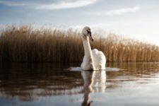 У парку Херсонської області загинули 20 лебедів – розпочато перевірку