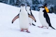 У Норвегії вакцинували пінгвінів, які три місяці були в ізоляції