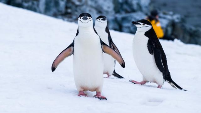 пінгвіни-шкіпери