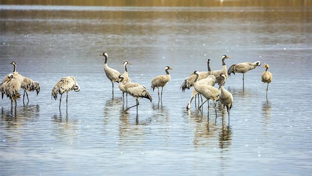 60 мертвих журавлів: в Асканії Новій знову масово гинуть рідкісні птахи