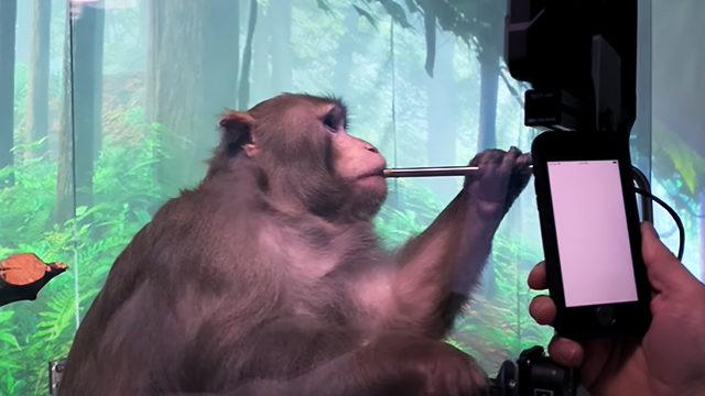 """Скоро в Twitch: стартап Илона Маска научил играть обезьяну в видеоигры """"силой мысли"""""""