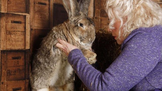 В екс-моделі Playboy викрали найбільшого кролика в світі