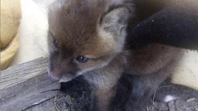 На Волині зоозахисники врятували чотирьох лисенят від браконьєра – ФОТО
