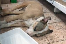 Бив та кидав на підлогу: у Херсоні затримали чоловіка, який знущався з собаки
