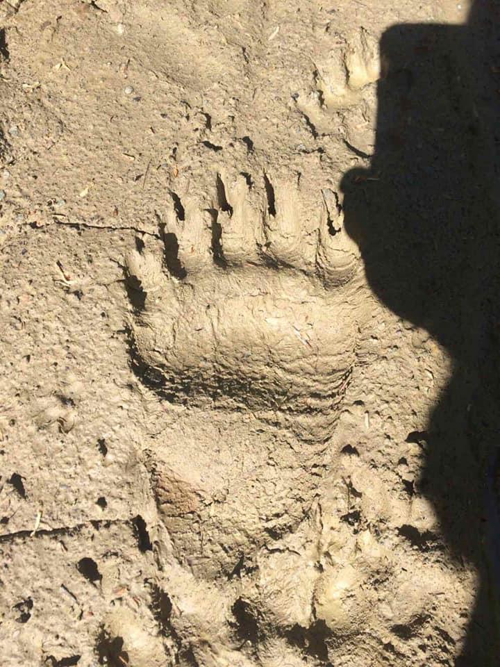 Зламані паркани і роздерта худоба: на Прикарпатті активізувалися бурі ведмеді