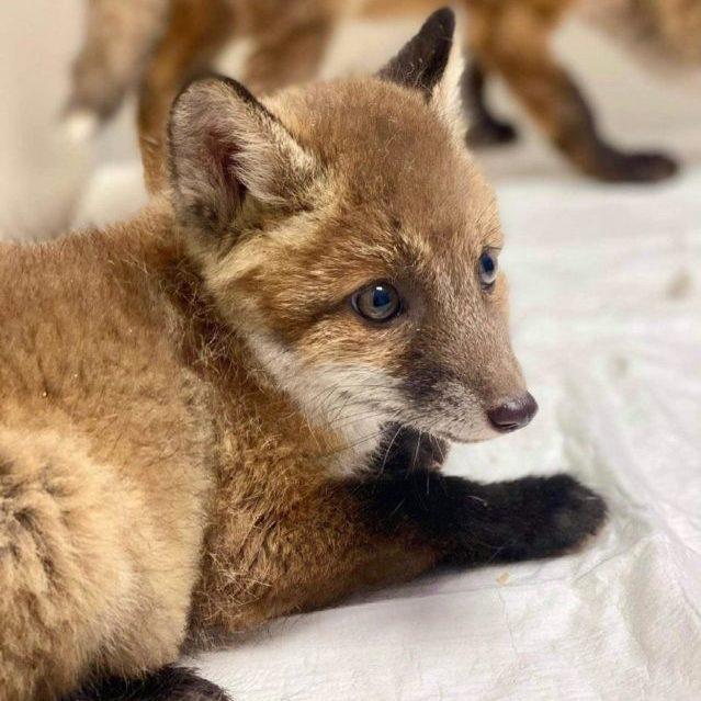 В Україні активісти врятували вісім лисенят: тварин планують випустити у дику природу