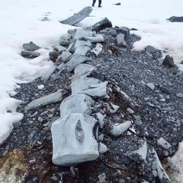 Рештки кита в Антарктиді_станція Академік Вернадський