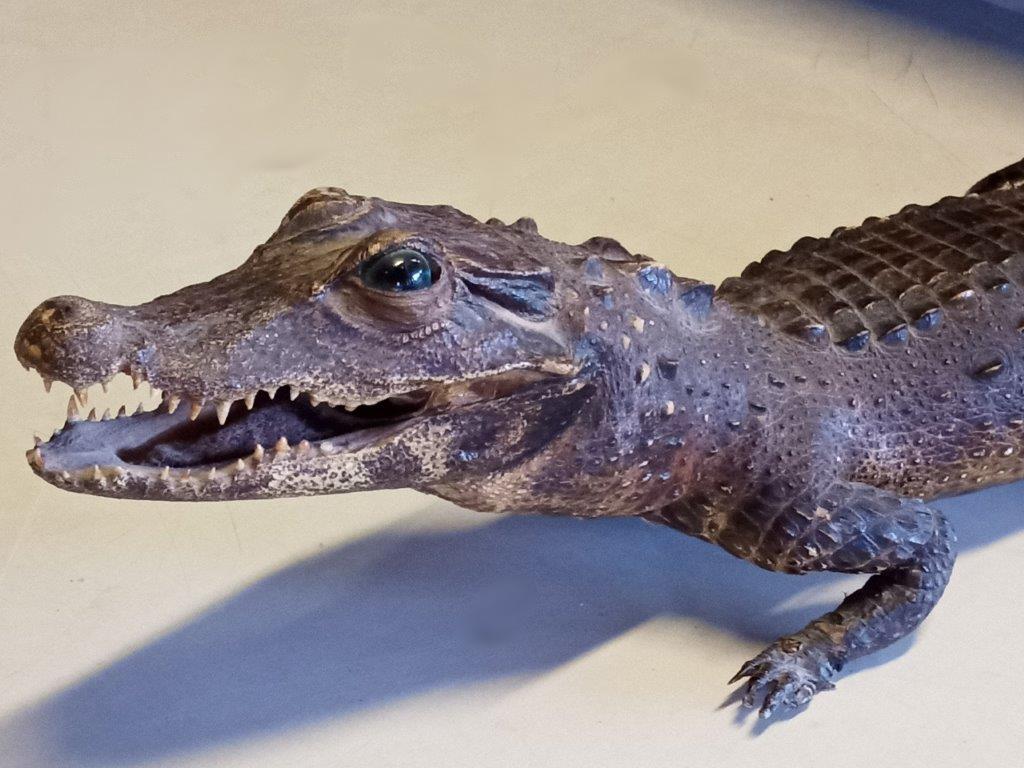 Українець намагався вивезти до Польщі рідкісного крокодила у багажнику авто