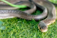 На Львівщині одразу двох людей за добу госпіталізували з укусами змії