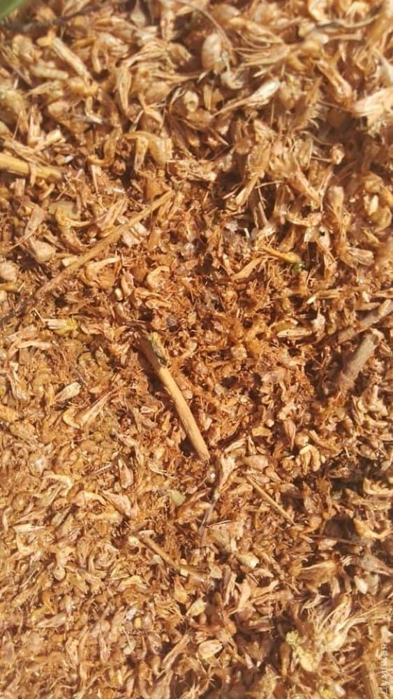 На берег Хаджибейського лиману викинуло тисячі креветок: фото і причини